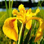 Ирис болотный: посадка и уход